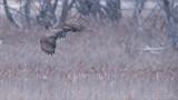 Great Grey Owl in Flight - Canada