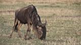 Wildebeest Grazing