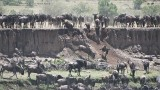 Wildebeest Crossing at the Mara River