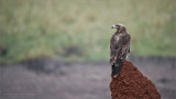 Tawny Eagle Hunting in Tarangire National Park