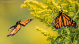 Monarch Butterfies