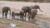 Elephant Family in for a Drink