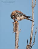 American Kestral with Lunch - Wild!