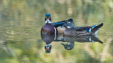 Wood Duck Couple Preparing for Winter