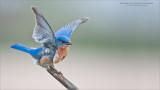 Eastern Bluebird - Wings up