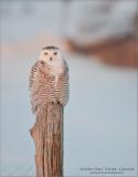 Snowy Owl Workshops in Canada