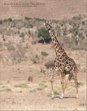 Masai giraffe in Tanzania