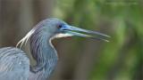 Tri-colored heron portrait - Florida Tours