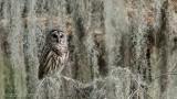 Barred Owl - Florida