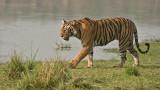 Female Tiger T19 Krishna - India 2015