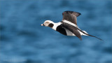 Long-tailed duck in Flight