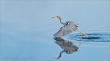 Tri-coloured Heron Lift Off