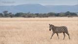 Passing Zebra
