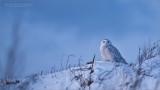 Snowy Owl on the Hill