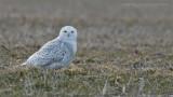 Snowy Owl - Ontario Tundra