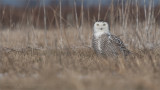 Snowy Owl in the Grass