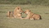 Valantines Day Lions