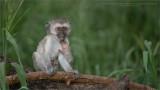 Black Faced Vervet Monkey Baby