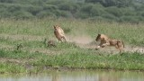 Lions Hunting a Warthog