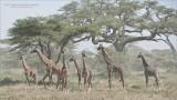 East African Giraffe Family - Tanzania