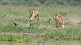 Female Lions in Chase for Lunch