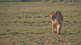 Female Lion Hunting Zebra