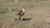 Cheetah Siblings at Play 1