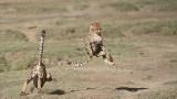 Cheetah Siblings at Play 3