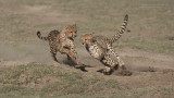 Cheetah Siblings at Play 10