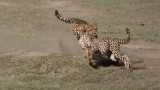 Cheetah Siblings at Play 11