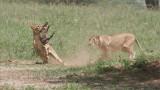 RAY_3106 Lion Kill 1200 web  .jpg