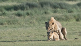 Mating Lions in Ndutu