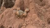 Common Dwarf Mongoose Family