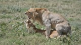 Lions Mating with Expression