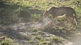 Cheetah Cub makes a Kill