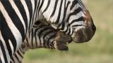 Zebra in Touch