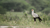 Secretarybird - Tanzania's National Bird
