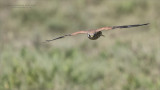 African Kestral in Flight