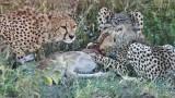 Cheetahs on a Kill