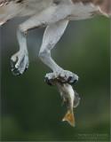 Osprey Dinner