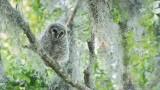 Barred Owlet - Florida