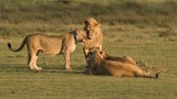 Lions having a morning Chat