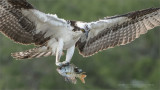 Osprey close up with Fish