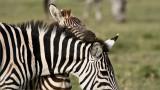 Sleepy Zebra Colt