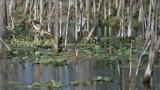 Least Bittern - Florida Swamp