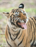 Royal Bengal Tiger in India