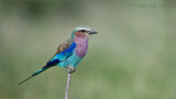 Lilacbreasted roller - Tanzania