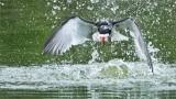 Black Skimmer Crash