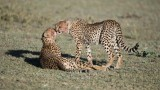 Intimate Cheetah Family - Clean up! Next Africa tour -January 2019