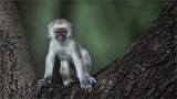 Vervet Monkey in Tanzania